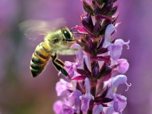 Bienensterben durch Pestizide?